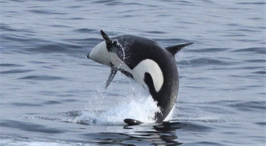 When it comes to killer whales, many marine scientists say nothing new here